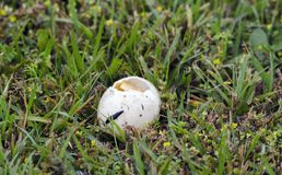 Mallard duck nest eggs plundered by raccoon predator, Georgia USA. The nest of a resident Mallard duck was plundered by a raccoon, eating the eggs. Walton County Stock Photo