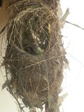 Nest. A small bird inside the nest Royalty Free Stock Images