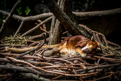 In the nest. Small mammal In the nest Royalty Free Stock Photo