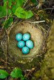 Nest of Song Thrush (Turdus philomelos ). Song Thrush,  Turdus philomelos. The Nest of bird with five blue eggs Royalty Free Stock Photos