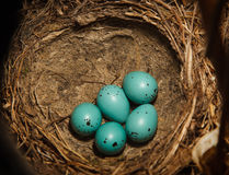 Nest of Song Thrush (Turdus philomelos ). Song Thrush, Turdus philomelos. The Nest of bird with five blue eggs stock photo