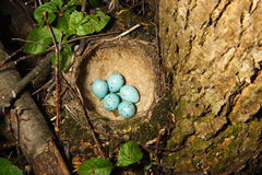 Nest of Song Thrush (Turdus philomelos ). Song Thrush,  Turdus philomelos. The Nest of bird with five blue eggs Stock Photos