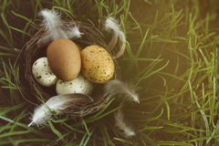 Nest with speckled eggs in the grass Royalty Free Stock Image