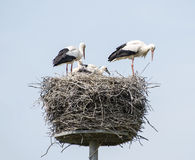 Nest with stork Royalty Free Stock Image