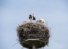 Nest with stork Stock Photography