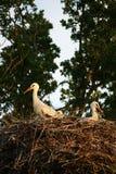 Nest of storks. A nest of a storks Royalty Free Stock Photography