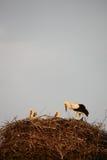 Nest of storks. A nest of a storks Royalty Free Stock Image