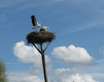 Nest of storks on a crooked column. Storks are the most beautiful birds stock photography