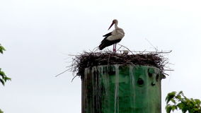 Nest of storks. The two storks in the nest stock video