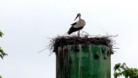 Nest of storks stock video