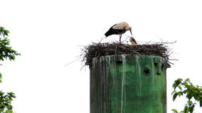 Nest of storks. The two storks in the nest stock video footage