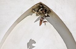 Nest of swallows in the arch of the building. In the summer Royalty Free Stock Images
