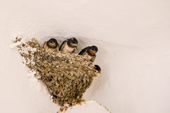 Nest with swallows (Hirundo rustica). Nest with four young barn swallows (Hirundo rustica royalty free stock images