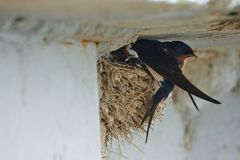 Nest of swallows. The swallows and martins, or Hirundinidae, are a family of passerine birds found around the world on all continents except Antarctica royalty free stock images