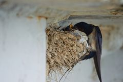 Nest of swallows. The swallows and martins, or Hirundinidae, are a family of passerine birds found around the world on all continents except Antarctica stock photo
