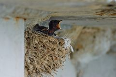 Nest of swallows. The swallows and martins, or Hirundinidae, are a family of passerine birds found around the world on all continents except Antarctica stock image