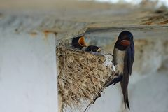 Nest of swallows. The swallows and martins, or Hirundinidae, are a family of passerine birds found around the world on all continents except Antarctica royalty free stock photos