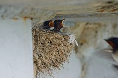 Nest of swallows. The swallows and martins, or Hirundinidae, are a family of passerine birds found around the world on all continents except Antarctica royalty free stock photography