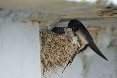 Nest of swallows. The swallows and martins, or Hirundinidae, are a family of passerine birds found around the world on all continents except Antarctica royalty free stock image