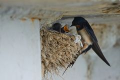 Nest of swallows. The swallows and martins, or Hirundinidae, are a family of passerine birds found around the world on all continents except Antarctica stock photography