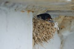 Nest of swallows. The swallows and martins, or Hirundinidae, are a family of passerine birds found around the world on all continents except Antarctica royalty free stock photo