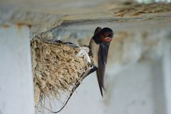 Nest of swallows. The swallows and martins, or Hirundinidae, are a family of passerine birds found around the world on all continents except Antarctica stock photos