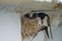 Nest of swallows. The swallows and martins, or Hirundinidae, are a family of passerine birds found around the world on all continents except Antarctica stock images