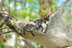 Nest of tent caterpillars. A closeup view of a nest of destructive tent caterpillars, sometimes called gypsy moth caterpillars, in a tree Royalty Free Stock Photo