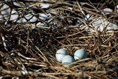 Nest with three eggs of gray heron Royalty Free Stock Photo