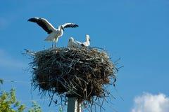 Nest of three storks Stock Photo