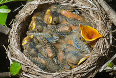 Nest of thrush 1 Stock Images