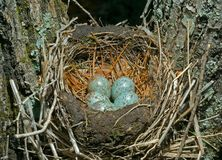 Nest of thrush 12 Stock Images
