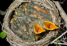 Nest of thrush 8 Royalty Free Stock Photo