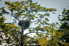 Nest in a tree. Birds nest sits in the branches of a tree Stock Photo
