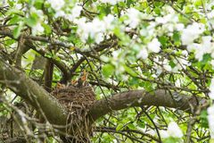 Nest on tree branch with baby birds in spring garden royalty free stock photos