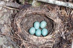 Nest. Turdus merula, Blackbird. Stock Photography