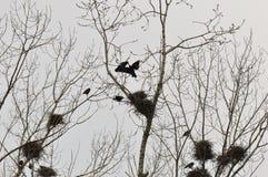 Nest und Krähen auf Wipfelniederlassung stockfotos