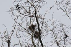 Nest und Krähen auf Wipfelniederlassung lizenzfreie stockfotos