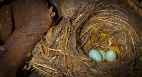 Nest van Amerikaanse mus met twee blauwe binnen eieren royalty-vrije stock fotografie
