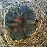 Nest van Babysialia stock fotografie