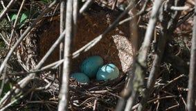 Nest van een merel Royalty-vrije Stock Afbeeldingen