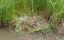 Nest van een paar jonge zwanen Stock Fotografie