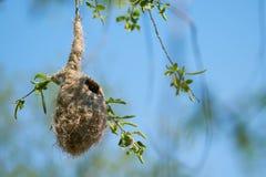 Nest van een Penduline-pendulinus van Meesremiz in de lente royalty-vrije stock afbeelding