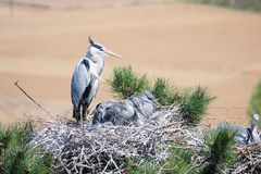 Nest van Grey Heron stock foto's