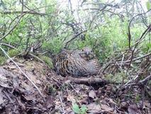 Nest van Lyrurus tetrix, Zwart Hoen Stock Afbeelding