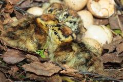 Nest van Lyrurus tetrix, Zwart Hoen Stock Fotografie