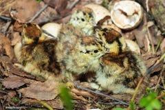 Nest van Lyrurus tetrix, Zwart Hoen Stock Foto