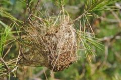 Nest van pijnboom processionary mot op een tak Royalty-vrije Stock Foto's