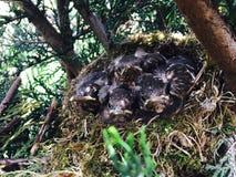 Nest von Amseln!! Lizenzfreie Stockbilder