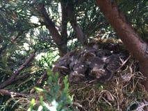Nest von Amseln!! Lizenzfreies Stockbild